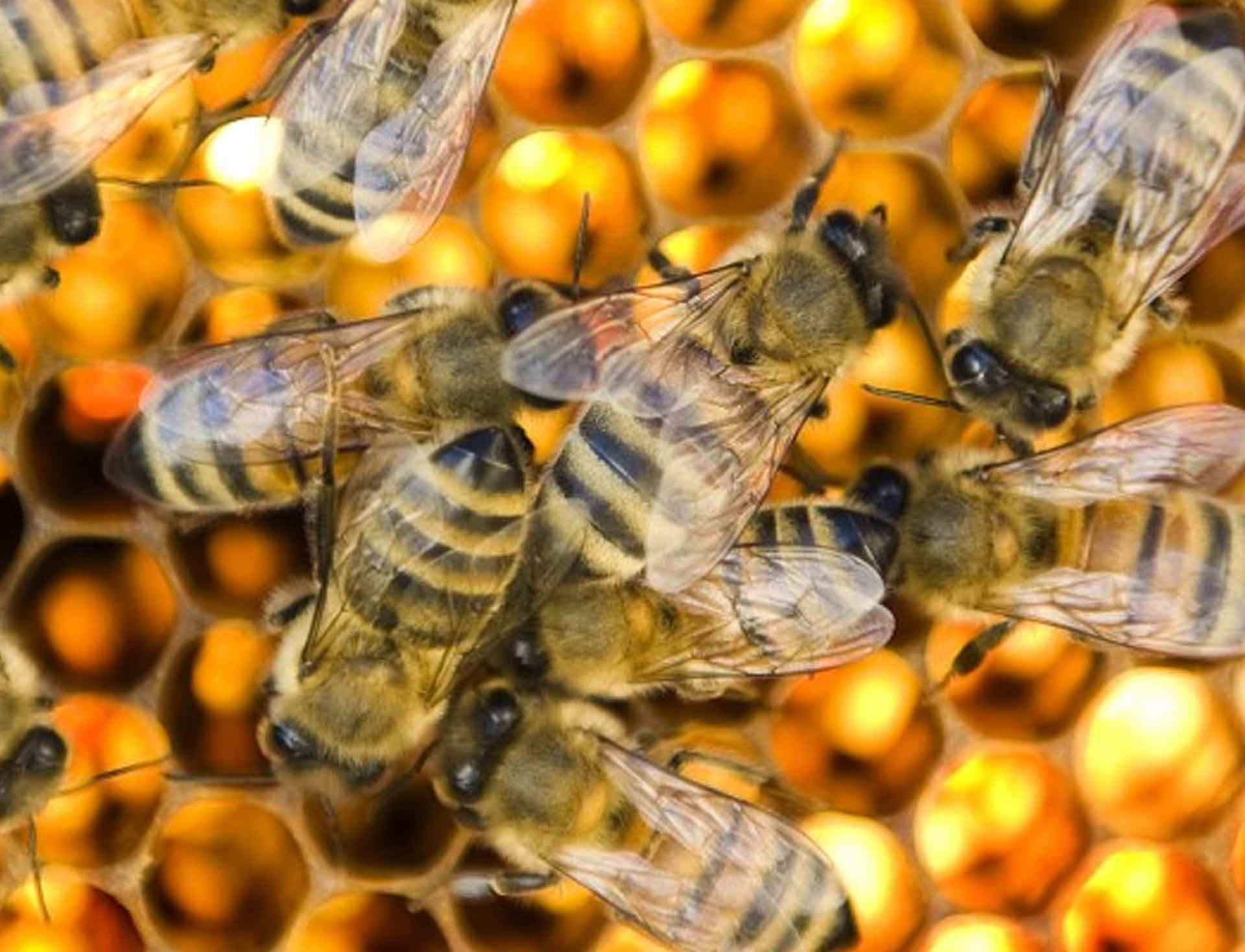 Mite resistant VSH bees posing for the Washington Post.
