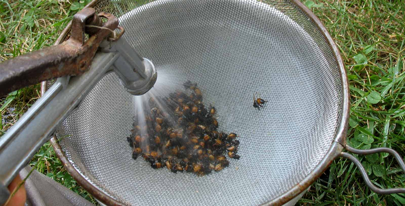 Spraying off mites as part of the Alcohol Wash assay for bees
